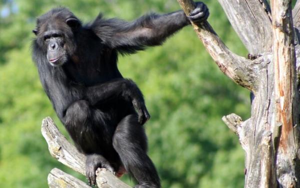 У шимпанзе Бетти из Таллиннского зоопарка наблюдаются проблемы здоровьем