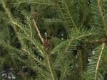 Собранные новогодние ёлки превратят в древесную щепу