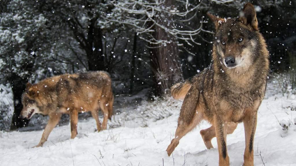 Настоящий русский: британцев восхитил задушивший волка фермер из России