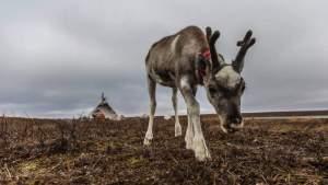 На Ямале зафиксировали массовую гибель оленей от голода