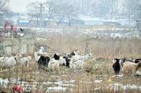 """Stână de capre pe strada Nicolae Iorga. turist când vine în """"capitala de nord"""": turme de capre în văgăunile orașului, lângă cel mai mare magazin angro din nordul Basarabiei (200 de metri până la Autogară)."""