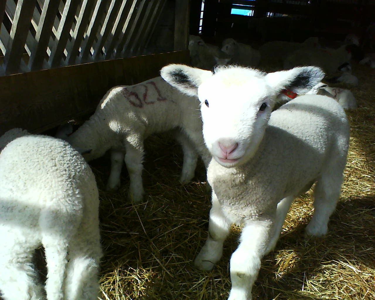 A new lamb just born at the Oregon State Sheep Research Center