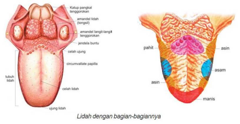 organ pencernaan pada manusia