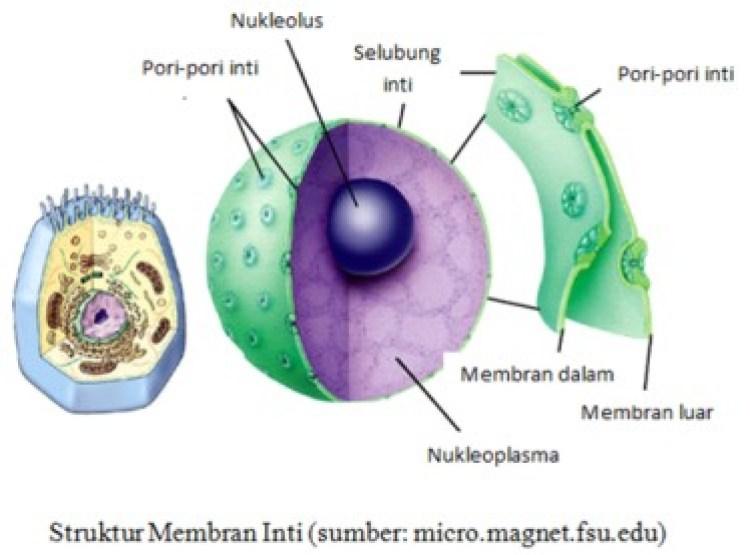 fungsi membran inti sel hewan