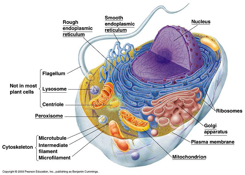 struktur sel hewan dan fungsinya