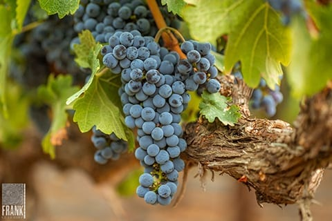 Grape photography by Frank Gutierrez