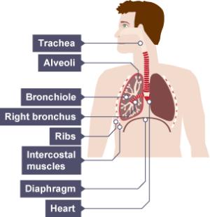 BBC Bitesize  KS3 Biology  Respiration  Revision 2