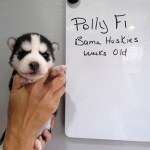 Polly S Husky Puppies 2 Weeks Old Siberian Husky Puppies For Sale