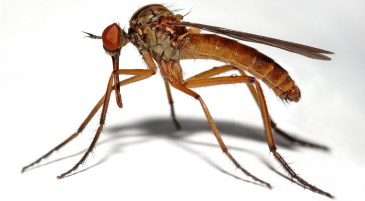 moustique déjà un peu méchant