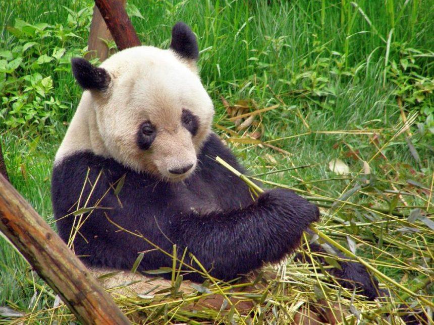 Der Große Panda ist Vegetarier