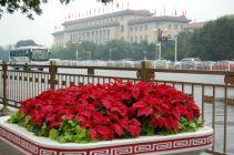 Weihnachtssterne haben eine schöne rote Farbe, die gut zum Anlass passt