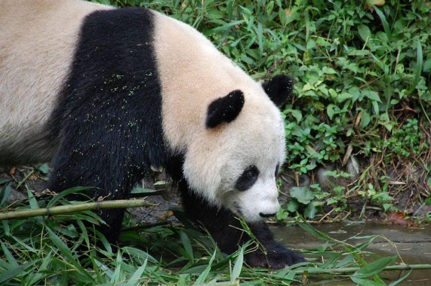 Großer Panda in Bifengxia 2016