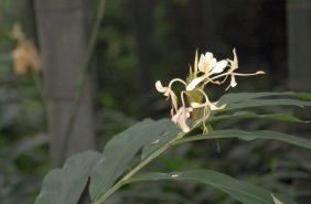 Emeishan Blume 2