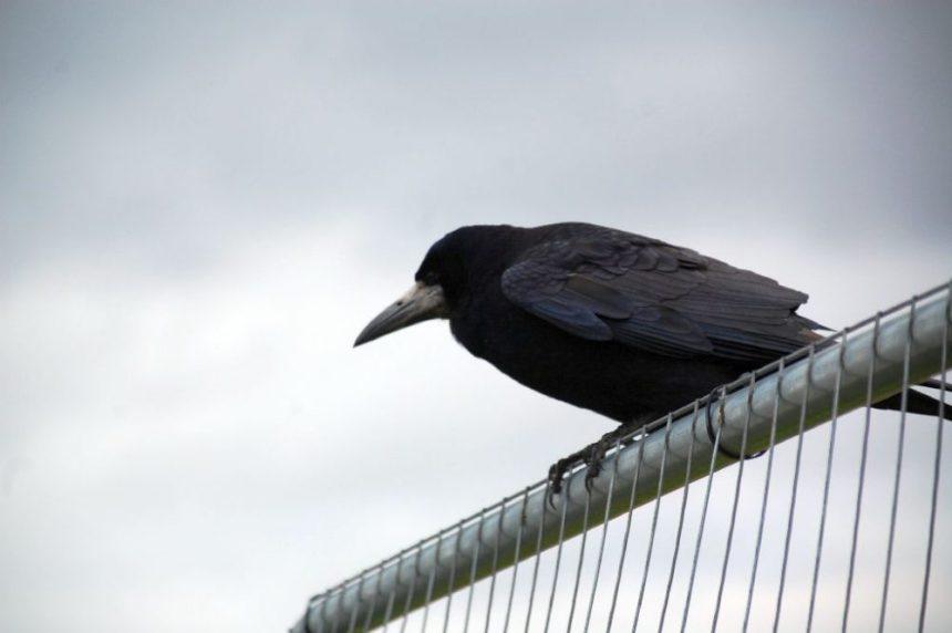Krähe wartet auf Besucher