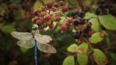 blue-dragonfly-libelula-azul