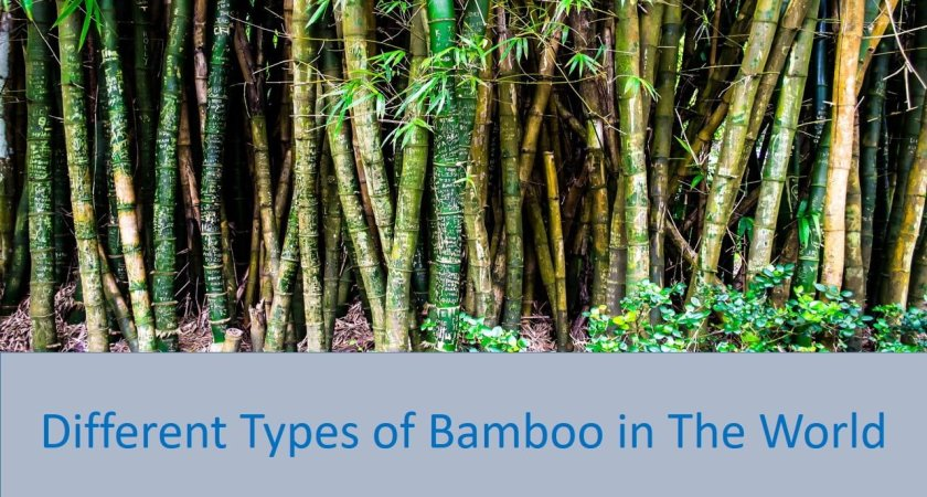 Different Types of Bamboo in the World