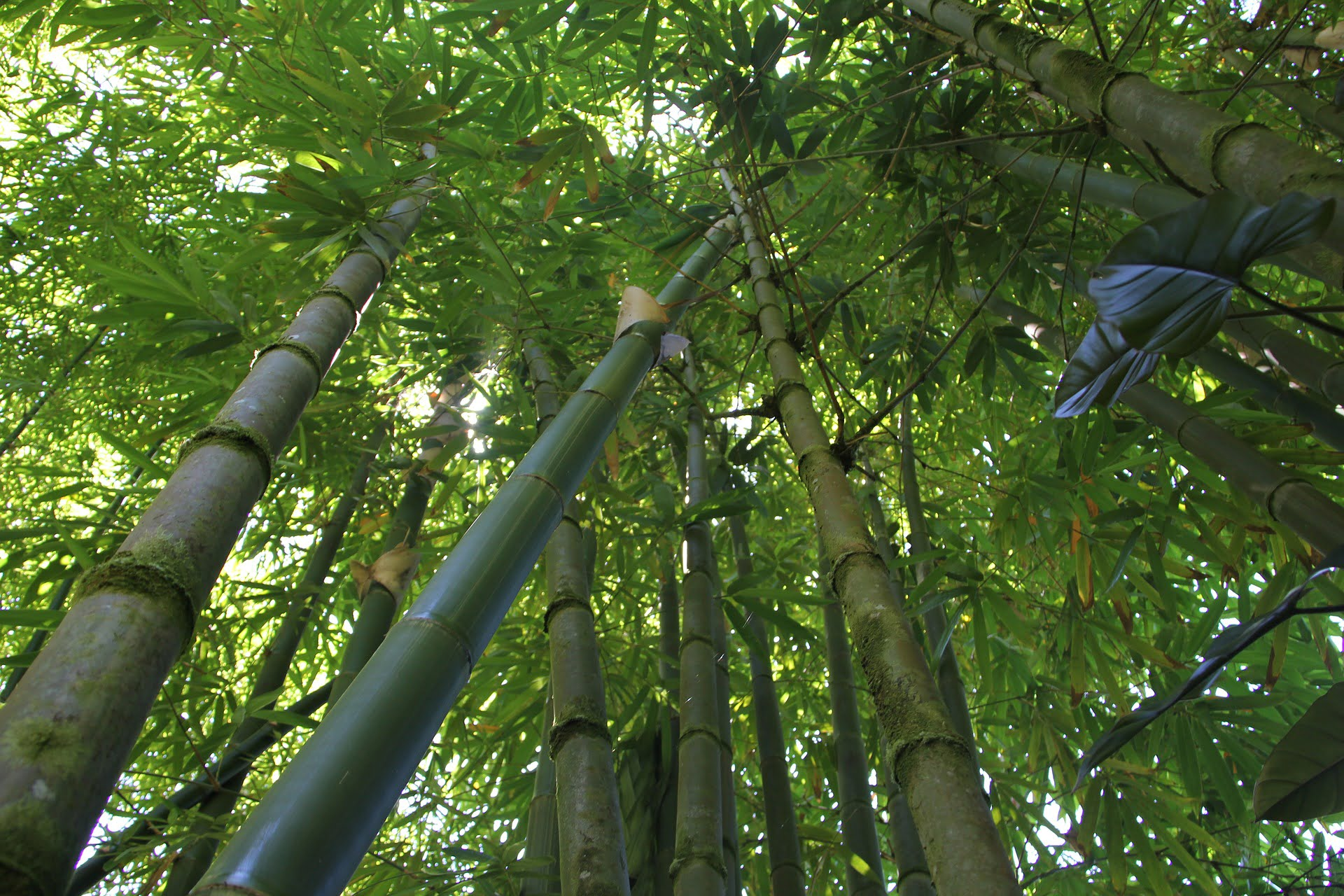 Non Invasive Bamboo Hedge