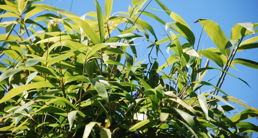 Information About Bamboo Seedlings