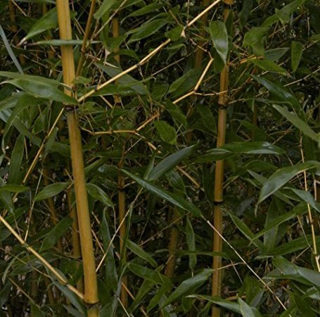 Choosing The Fast growing bamboo For Your Garden.