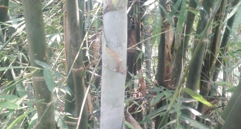 Can Humans Eat Bamboo-What Do You Think?