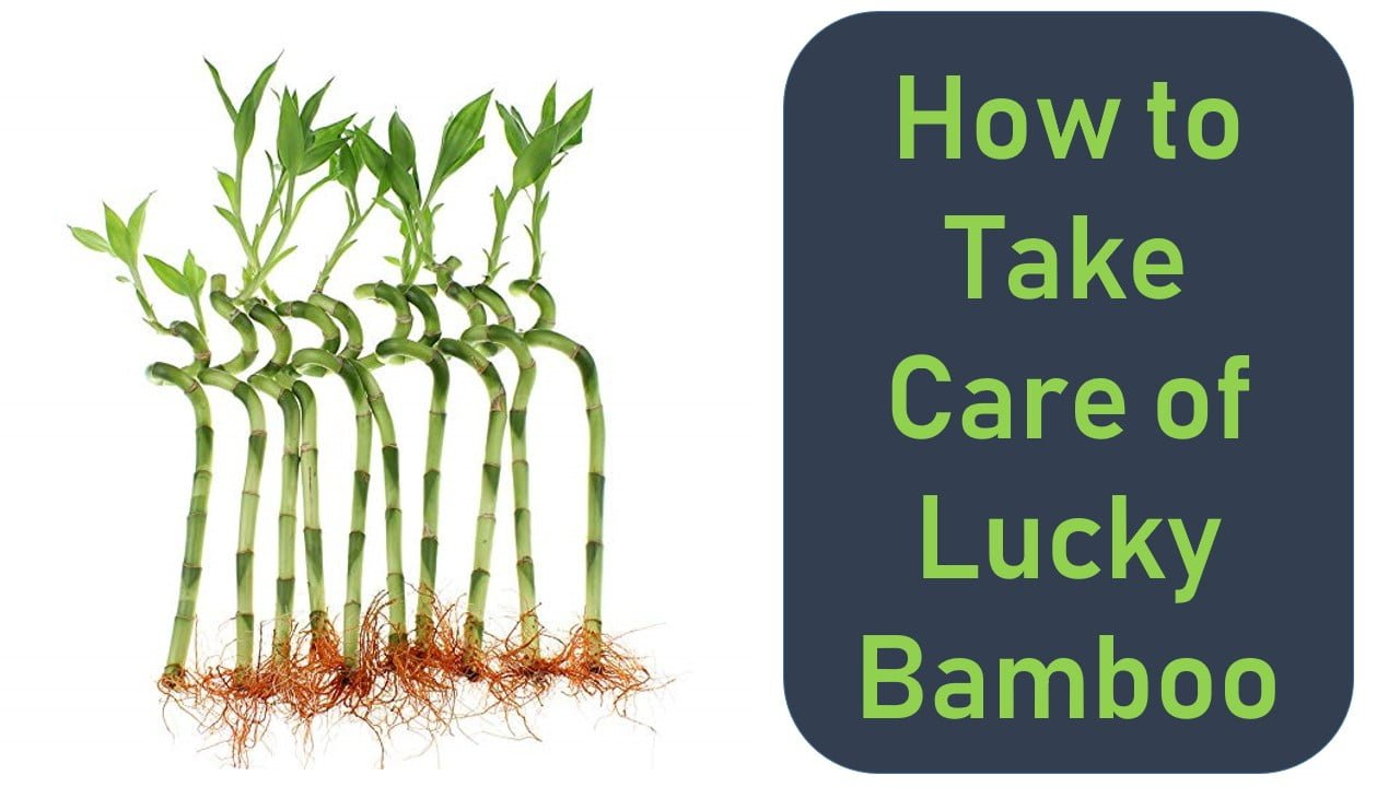 How To Take Care Of Lucky Bamboo Know A To Z