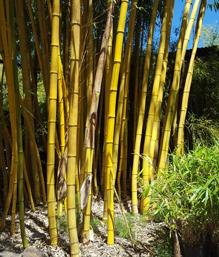 Clumping Vs Running Bamboos Bamboo Sourcery Nursery Gardens