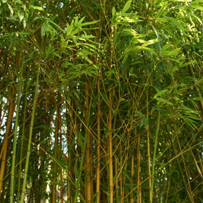500 rari Semi di,Madake Phillostachys,Bambusoides,Bamboo Japanese timber,bambu