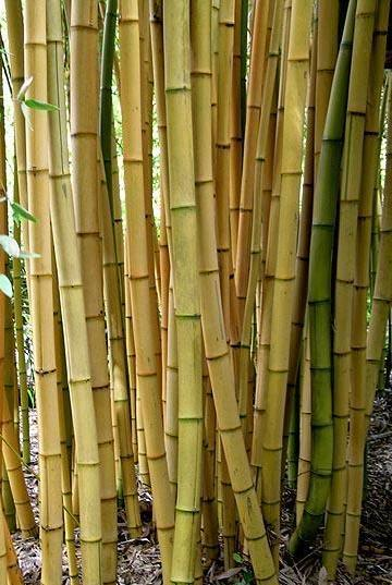 1 Cold Hardy Phyllostachys Viridis /'Robert Young/' 12 inch Yellow Bamboo Rhizome