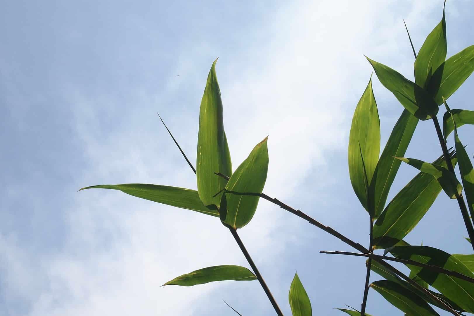 Comment Faire Pousser Bambou absorption de co2 - bambou en france