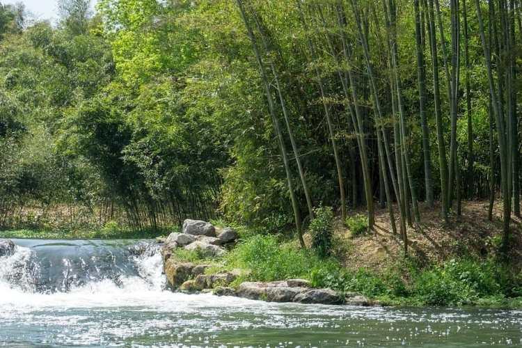 Bambou au bord d'une rivière