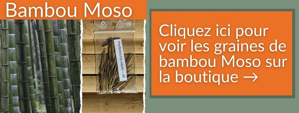 BAMBOU RECORD CROISSANCE MOSO