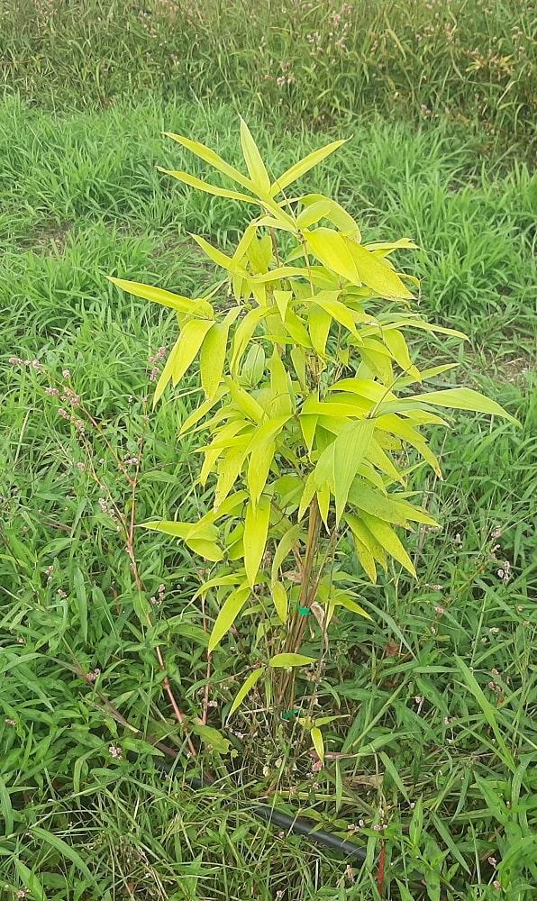 Bambou qui jaunit (manque d'azote)