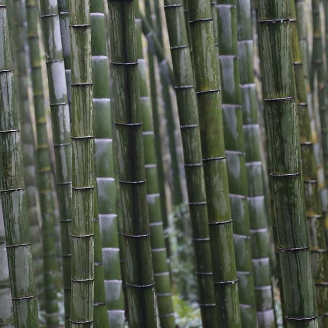 Bambou géant Moso (Phyllostachys edulis)