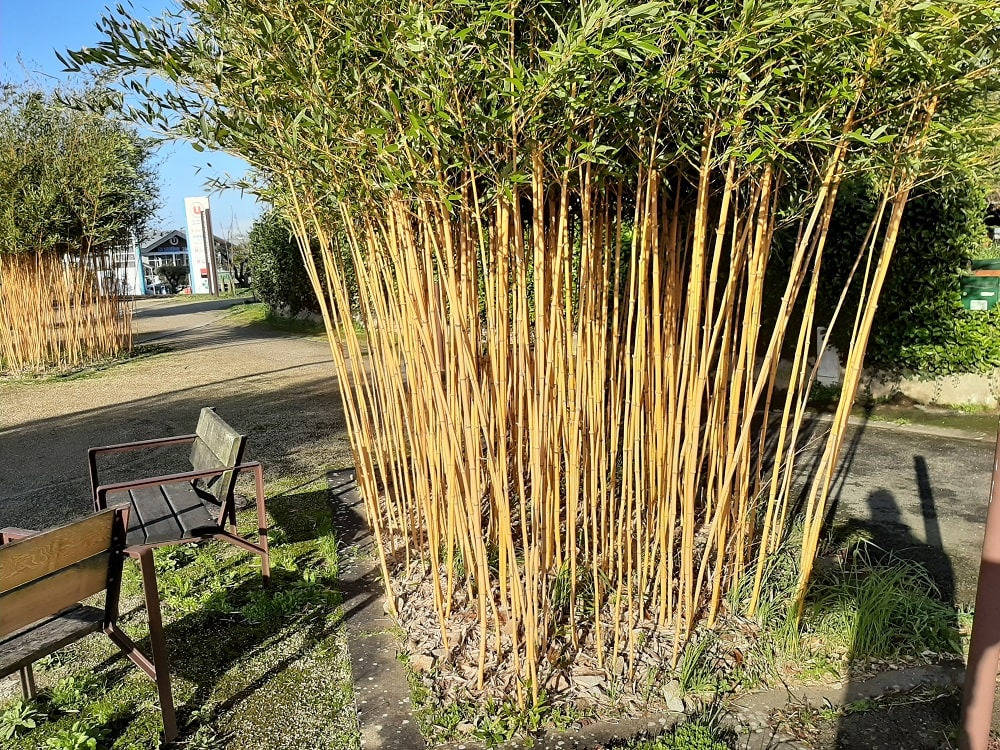 Bien tailler un bambou pour l'entretenir