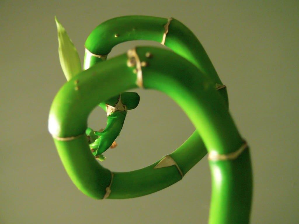Faire tourner le lucky bambou en spirales