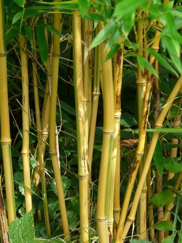 bambou phyllostachys aureocolis