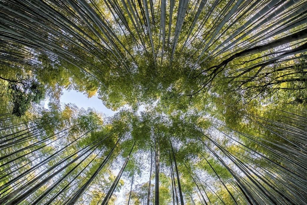 Bambou géant Moso Phyllostachys edulis
