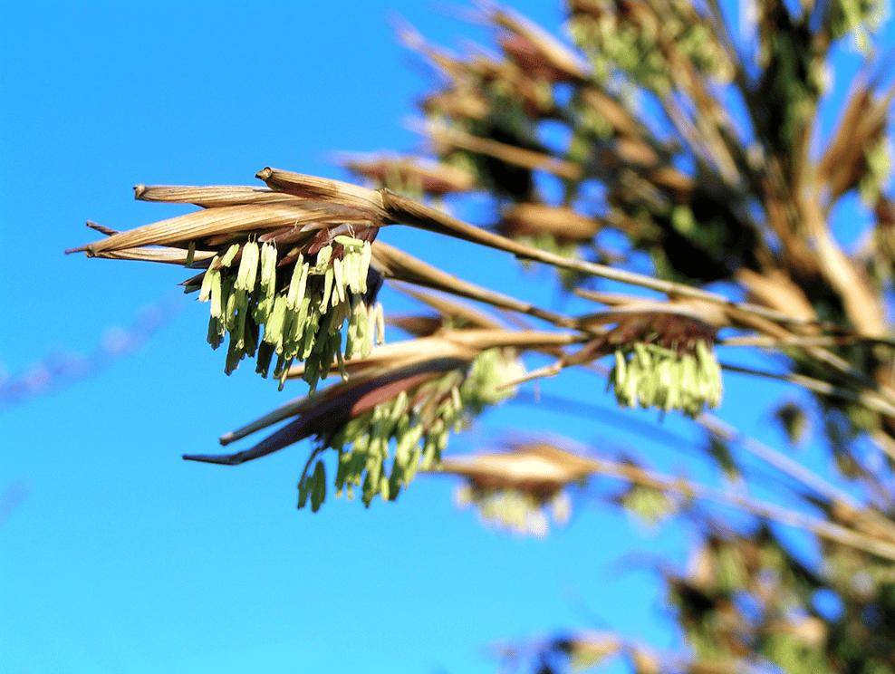 Bambou en fleur (Photo: Mogens Engelund, CC - BY SA 3.0)
