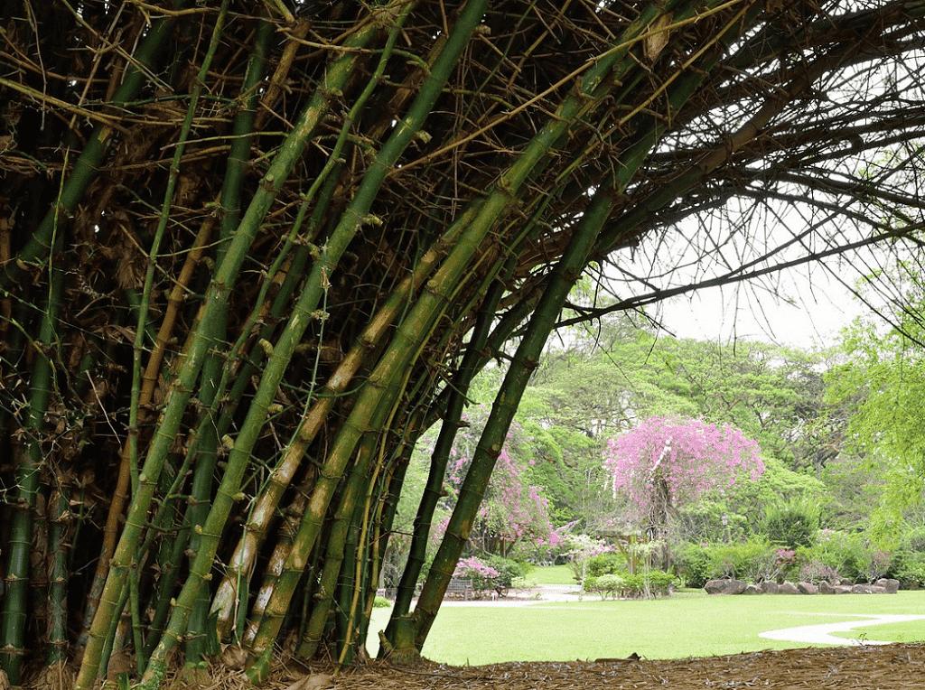 Bambusa bambos (Tristan Schmurr CC BY 2.0)