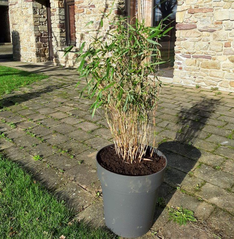 Bambou en pot sur une terrasse