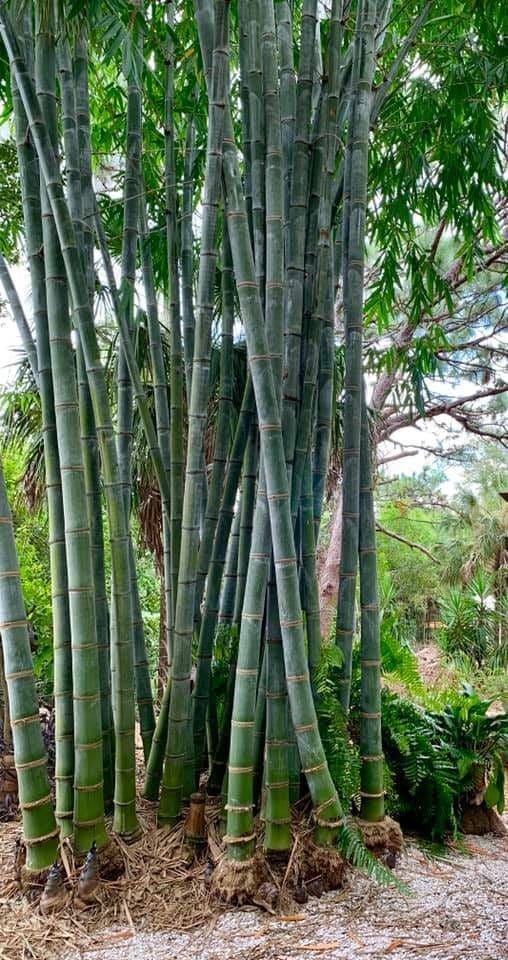 Dendrocalamus giganteus: Un bambou géant non traçant !