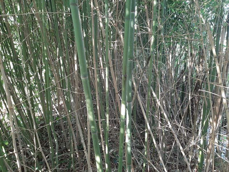 Éclaircir le bambou