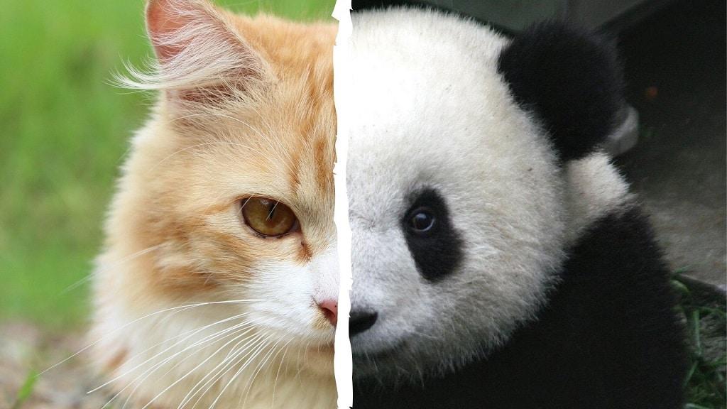 Le panda est un hypercarnivore, comme le chat