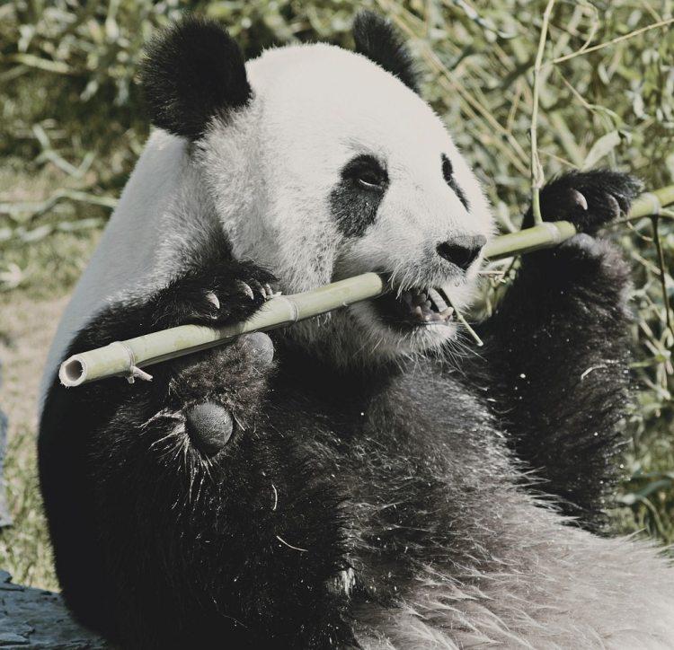 Os hypertrophie du panda lui permet de bien saisir le bambou