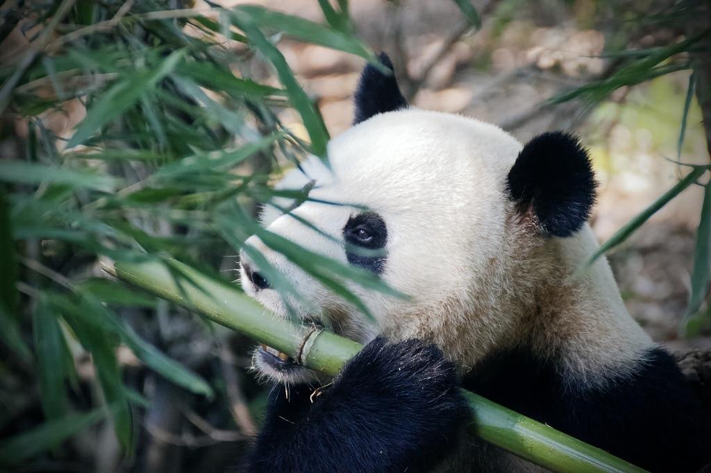 Panda qui mange un chaume de bambou