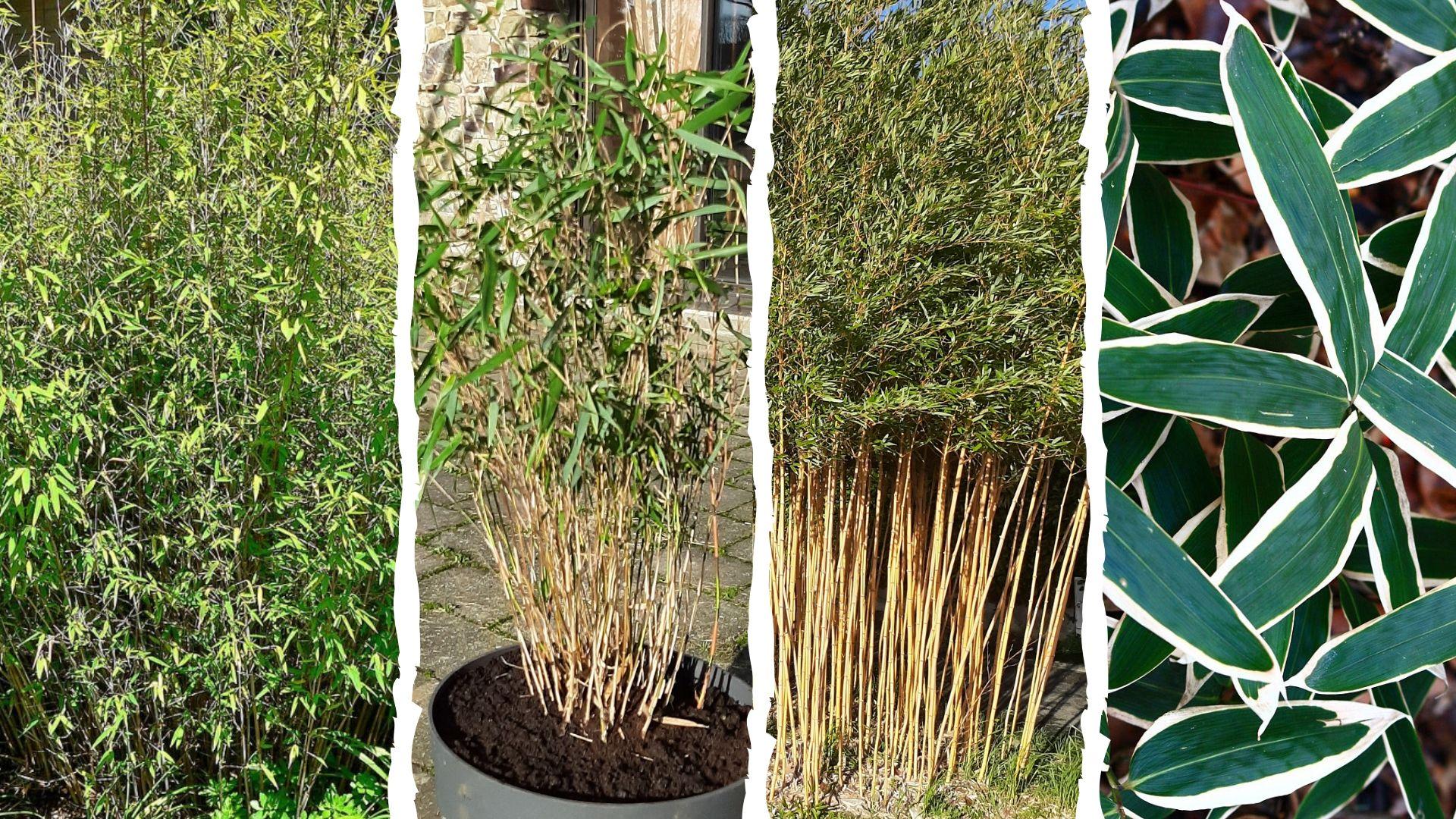 Comment Faire Pousser Bambou quel bambou choisir ? guide illustré - bambou en france