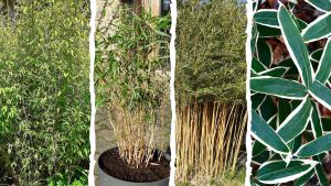 Quel bambou choisir
