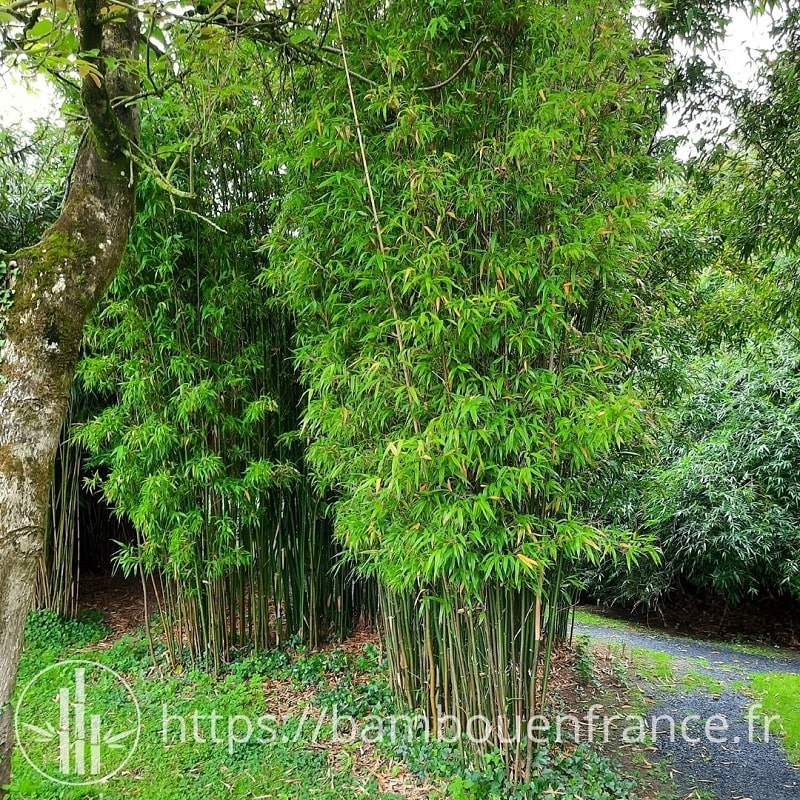 Semiarundinaria fastuosa - Vallée des Bambous