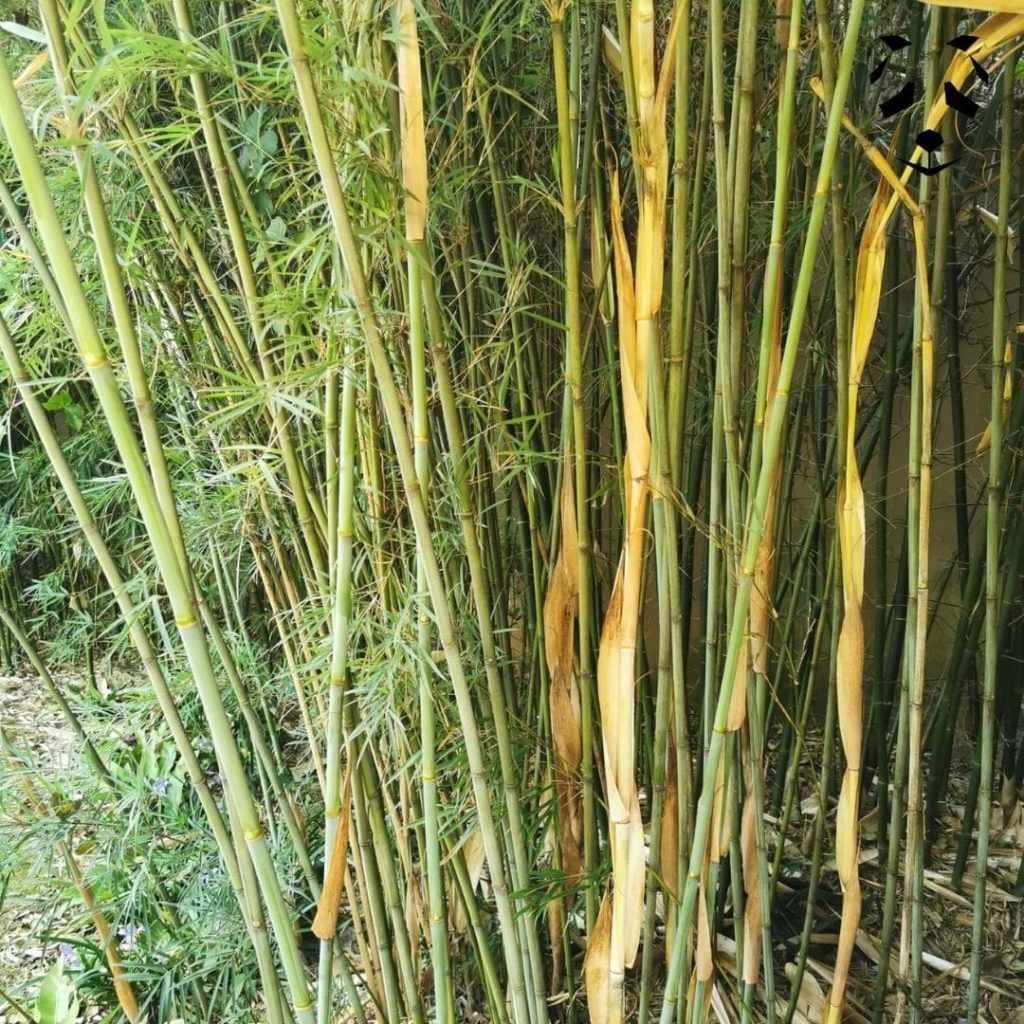 Bambou non traçant - Fargesia guizhou