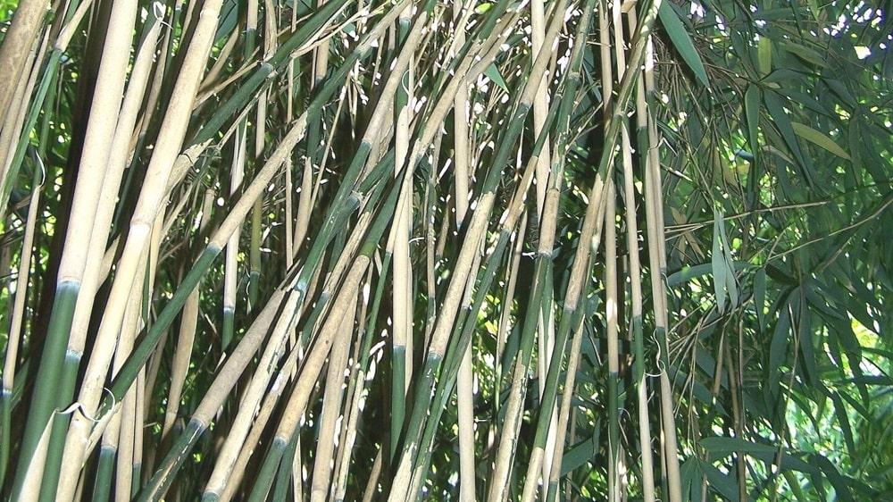 Pseudosasa japonica bambou